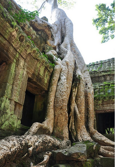 Tree growing on temple in Cambodia