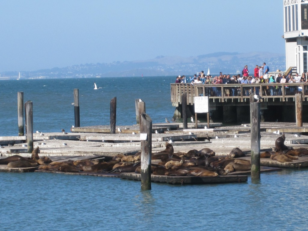 sealions on pier 39