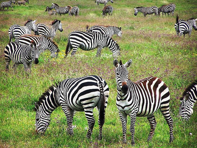 herd of Zebras in Tanzania