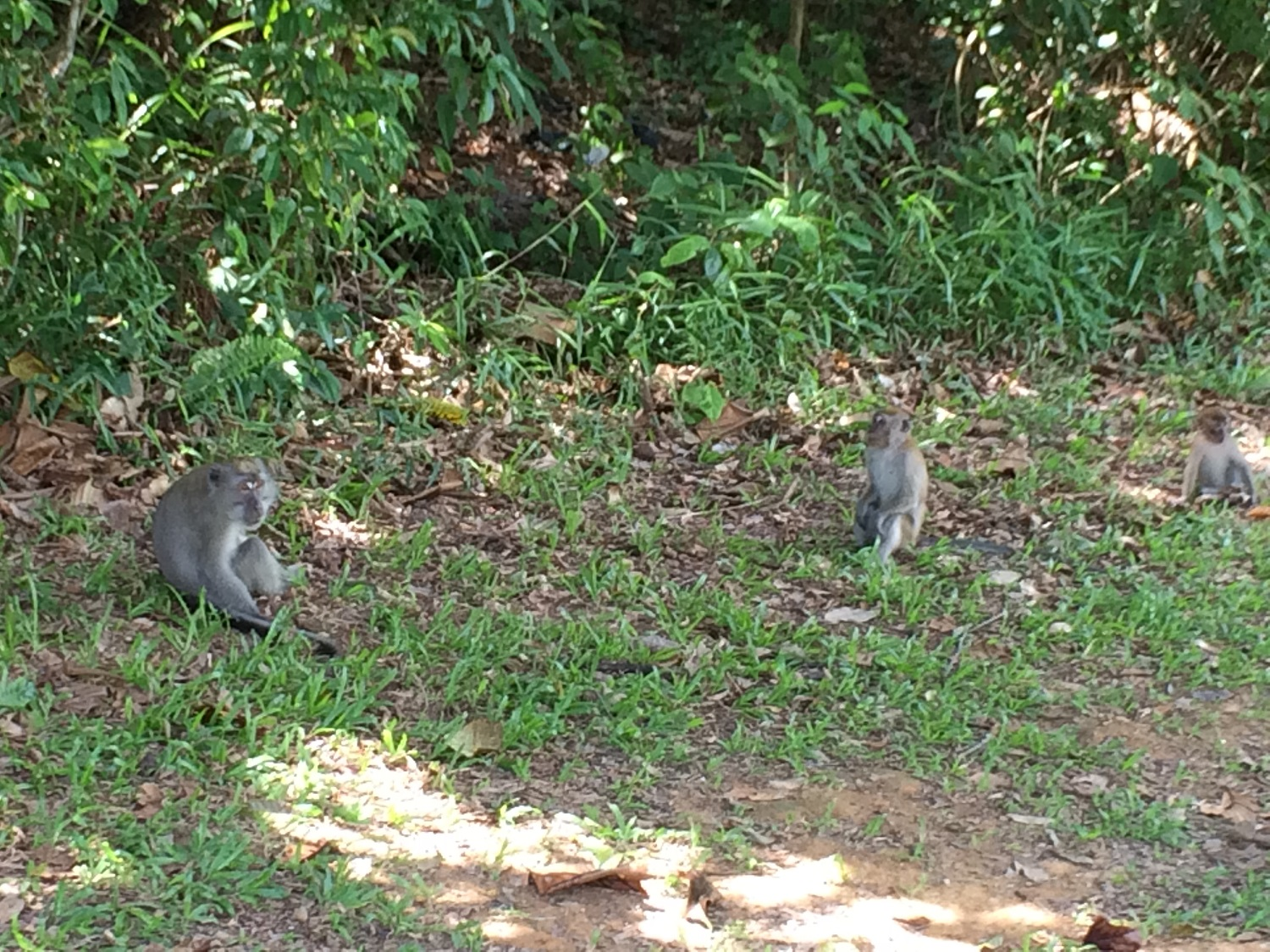 monkeys at pierce reservoir singapore