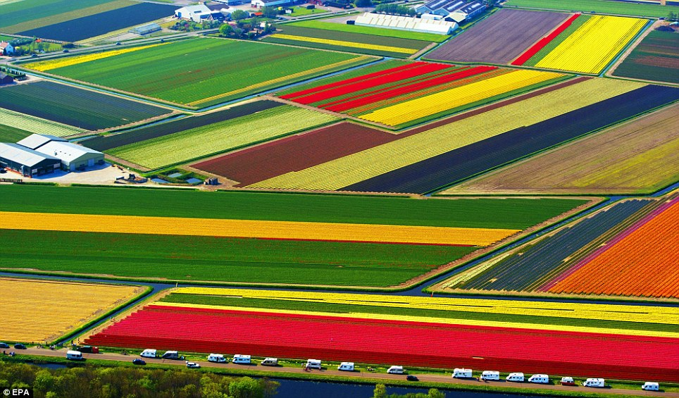 from http://www.dailymail.co.uk/news/article-1380218/When-spring--The-Dutch-tulip-fields-spectacular-tourist-attraction.html