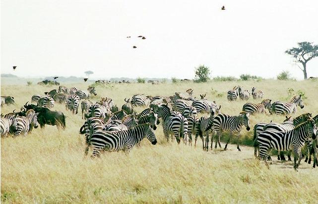 African Safari Zebras