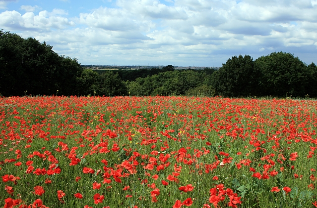 Poppies in England