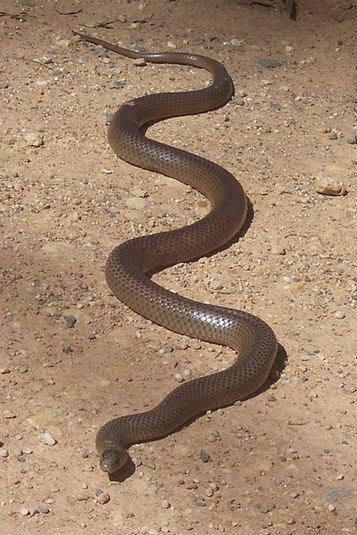 Poisonous snakes in Australia