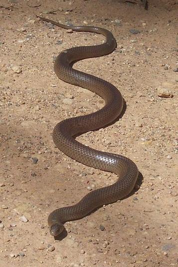 Poisonous snakes in Australia