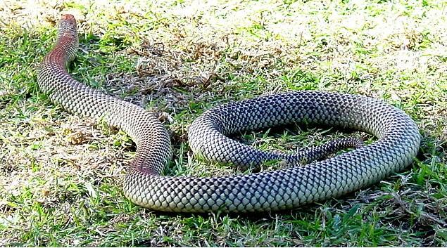 Venomous snakes in Australia