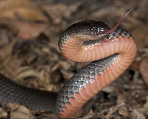 deadly snakes in Australia