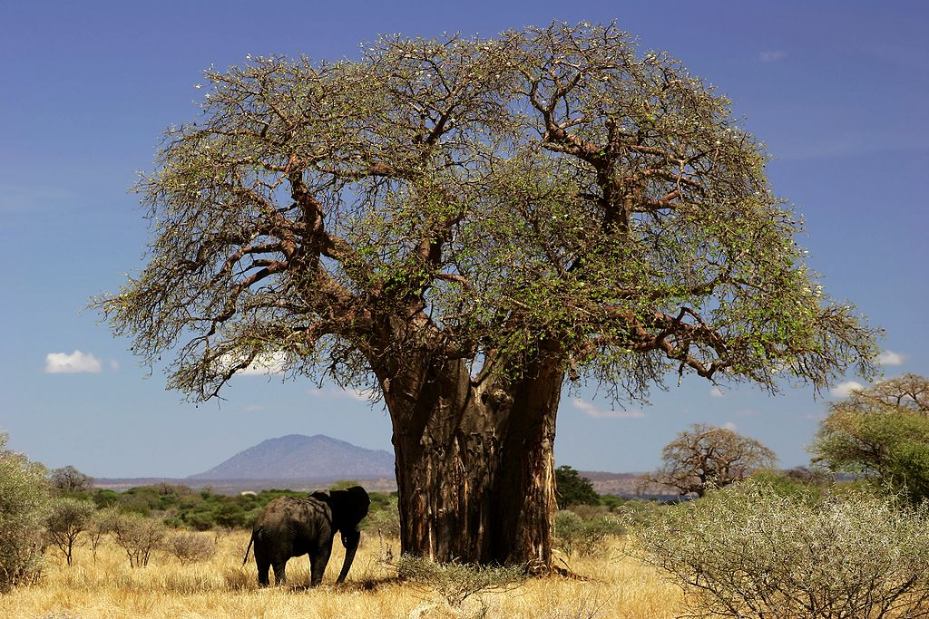 1024px-Baobab_and_elephant_Tanzania_-_modified